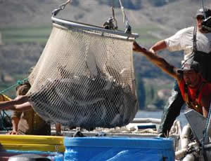 Bringing in the catch, Syilx fishermen take special care of the salmon.